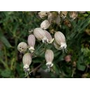 Bladder campion (Silene vulgaris)